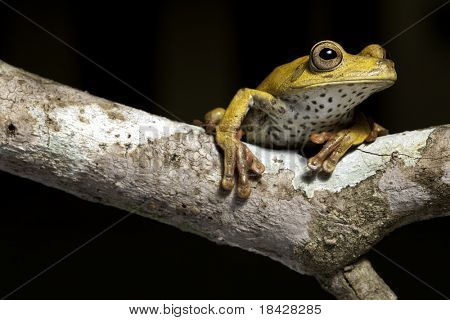 frog amphibian treefrog rainforest branch tropical jungle tree frog with beautiful eye a night animal on black background lives amazon rain forest a threatened species in need for nature conservation