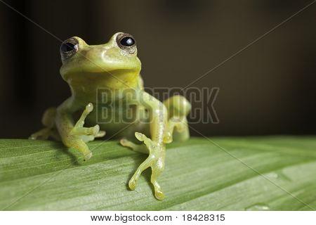 frog amphibian treefrog rainforest branch tropical poster