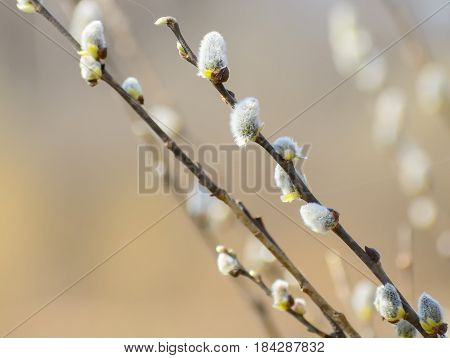 Willow branches with fluffy catkins. Beautiful pussy willow flowers branches. Soft floral spring and easter nature background. Shallow dof.