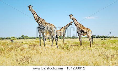 Group of Giraffes Watching - Chobe National Park, Botswana: Group of giraffes watching peacefully on a green and yellow grass plain.
