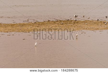 Two white snowy egret standing in shallow water of inland sea in South Korea in front of sandy knoll with a flock of seagulls in background