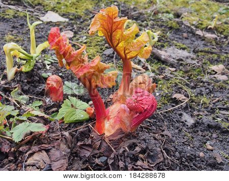 Shoots of rhubarb make their way out of the ground. Macro.