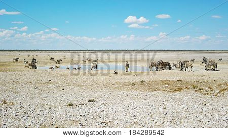 Waterhole Safari Scene - Etosha National Park, Namibia: Herd of zebras drinking together with springboks at a waterhole.
