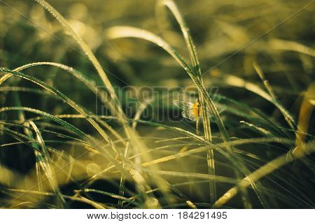 dragonfly sitting on a blade of grass. blurry background of dewy grass