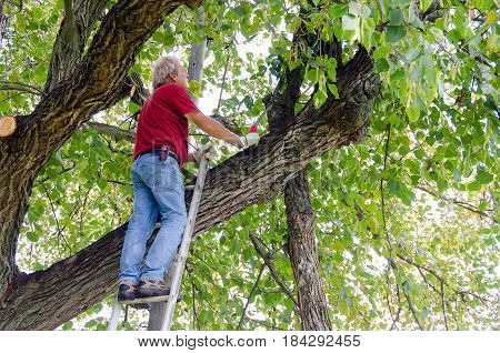Caucasian man on ladder trimming tree branches.