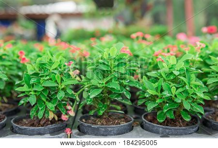Travel to Bangkok Thailand. The pink pot plants on the market.