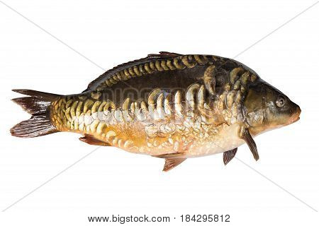 Mirror carp river fish isolated on white background.