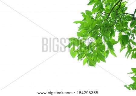 The fresh Green leaves on white background