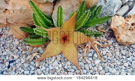 Large smelly cactus flower known as the Stapelia gigantea