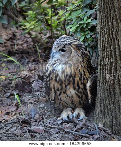 Barred Owl nestles down to stay warm on a cool evening.