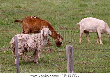 Goats enjoying a spring day in Durango, CO