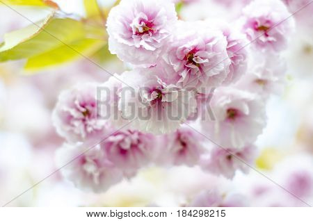 The branches of a kanzan(flowering cherry) tree in England UK