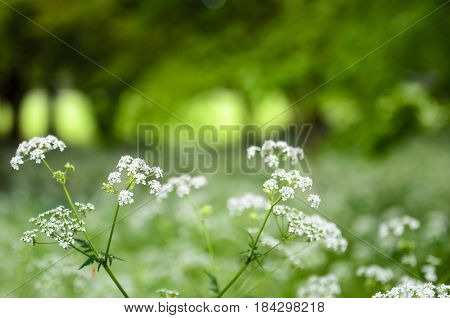 A hogweed flower in the forest the background is full of out of focus trees