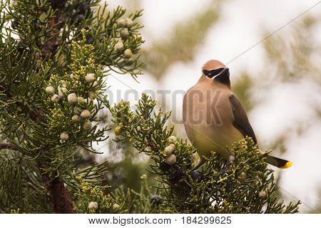 Cedar Waxwing feeding on Juniper berries during spring migration.