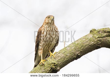 Cooper's Hawk perched on a branch while hunting for small songbirds.