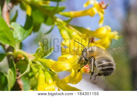 bee fly to the yellow flower in sunny day of spring with blue sky