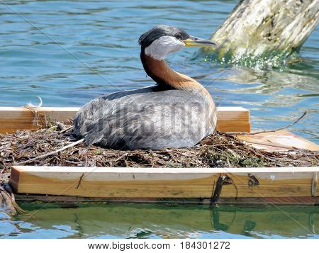 Red-necked grebe on a nest on the Lake Ontario in Humber Bay Park of Toronto Canada April 27 2017