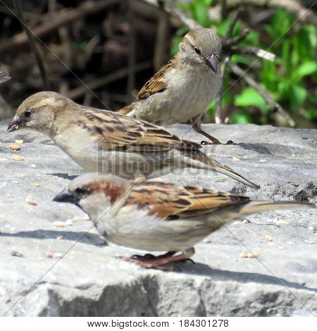 Sparrows in Humber Bay Park on a shore of the Lake Ontario in Toronto Canada April 27 2017