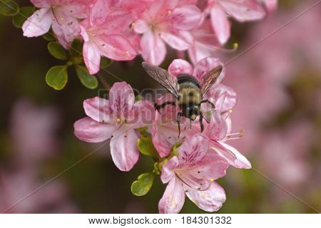 Close up of a curious carpenter bee pollinating a bright pink azalea flower in spring