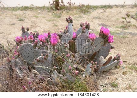 Beavertail Cactus seeing in the California high desert.  but can also be found throught the Mojave and Sonoran deserts in the American Southwest and Northern Mexico