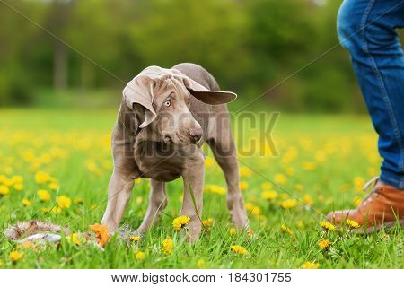 Cute Weimaraner Puppy Playing On The Meadow