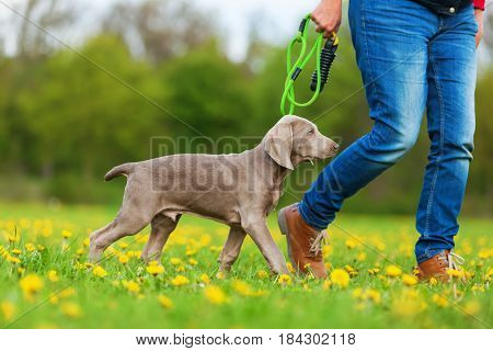 Woman With A Weimaraner Puppy On The Meadow