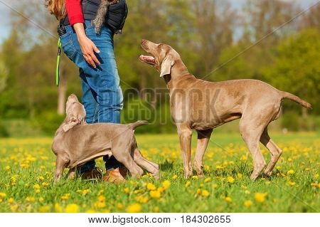 Woman Plays With A Weimaraner Adult And Puppy