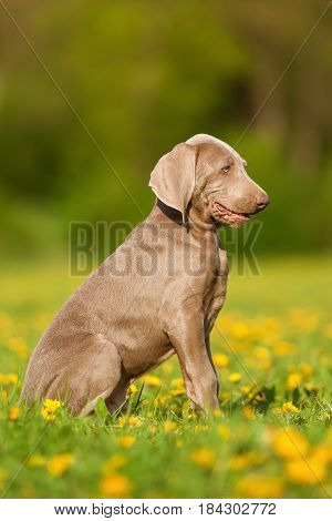 Portrait Of A Cute Weimaraner Puppy