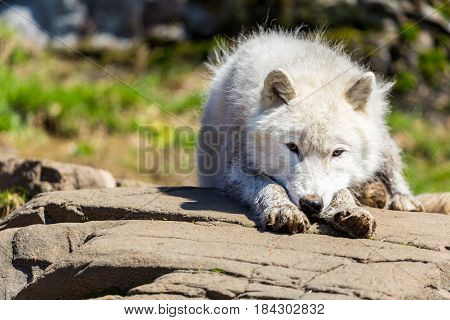 White Arctic wolf in a forest in Northern Canada alert and looking for prey, taken just after the snows had cleared in early April.
