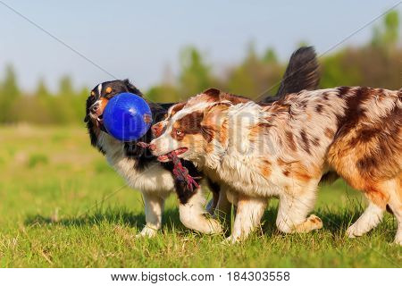 Three Australian Shepherd Pulling At A Ball