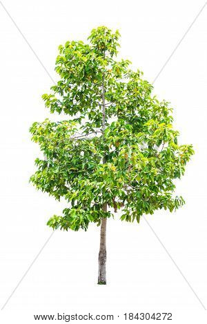 tree with green leaves isolated on white background.