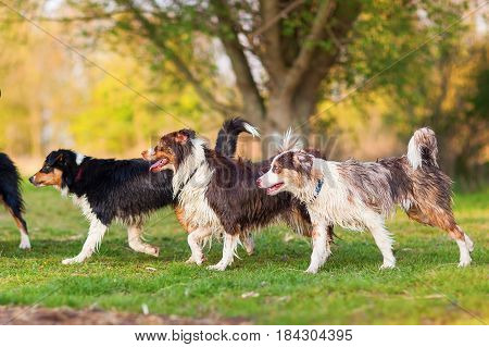 Four Wet Australian Shepherd Dogs Walking Lakeside