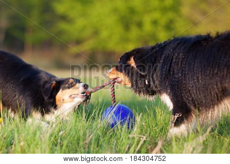 Two Australian Shepherd Dogs Pulling At A Rope