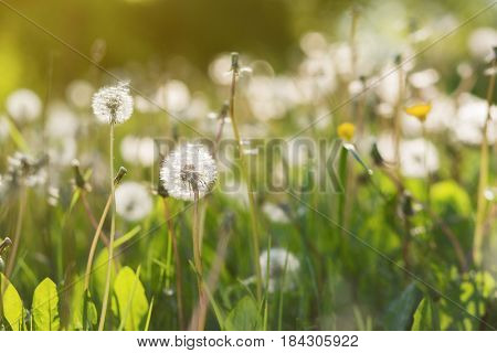 Blooming dandelion flowers (Taxacum officinale). Spring nature background. Medicinal plant.