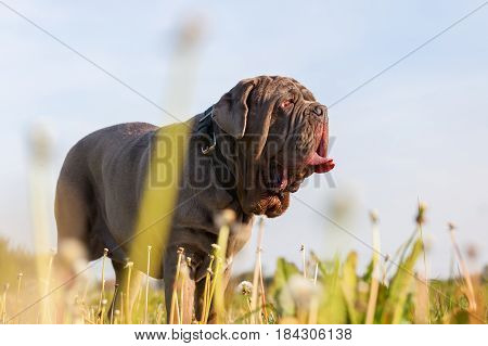 Neapolitan Mastiff In A Dandelion Meadow
