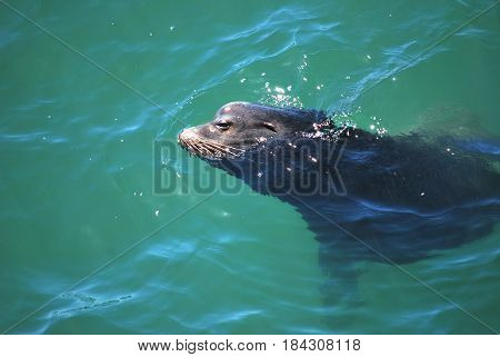 Portrait of a seal in water outdoors.