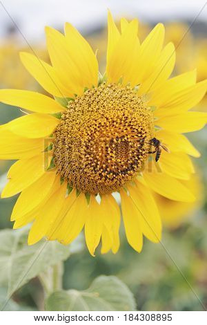 The little bee is sniffing the sunflower.
