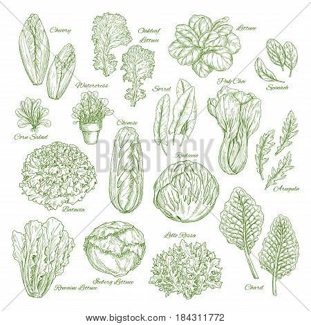 Salad leaf and vegetables sketches. Lettuce, chinese cabbage, spinach and oakleaf lettuce, arugula, corn salad, pak choy and chicory, radicchio snd batavia, sorrel, watercress, chard