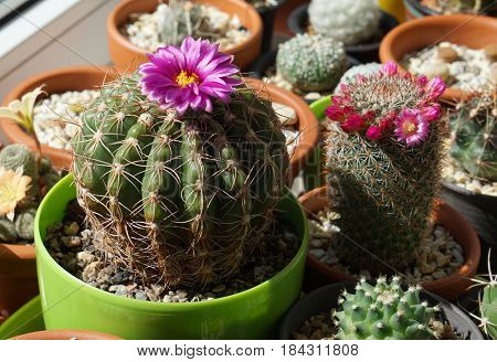 Parodia werneri (Notocactus uebelmannianus) cactus with beautiful flower and Mammillaria spinosissima rubrispina blooming