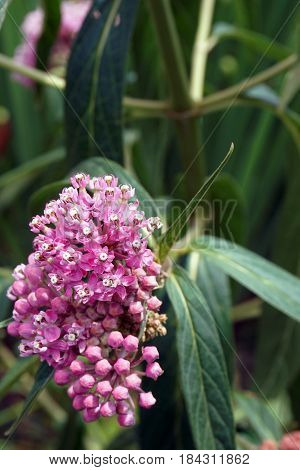 Swamp milkweed (Asclepias incarnata), also known as rose milkweed, rose milkflower, swamp silkweed, and white Indian hemp, blooms on the shore of a small lake in Joliet, Illinois, during July.