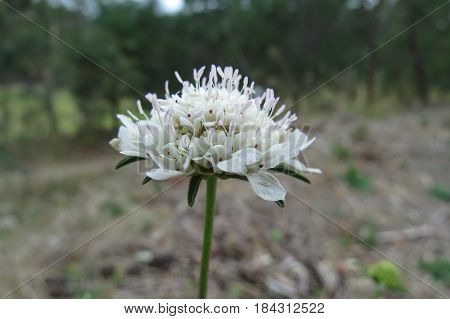White Scabiosa Pincushion Flowers growing in South Australian bushland along a bush walking track