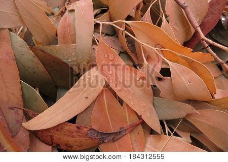 Dead and dry Eucalyptus gum leaves along an Australian bush walking trail track Autumn