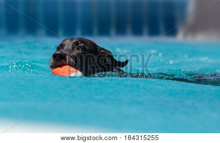 Black Labrador Retriever Swims With A Toy