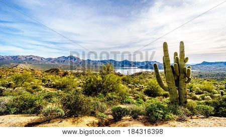 Large Saguaro cactuses in the semi-desert landscape of Tonto National Forest in Maricopa County Arizona USA