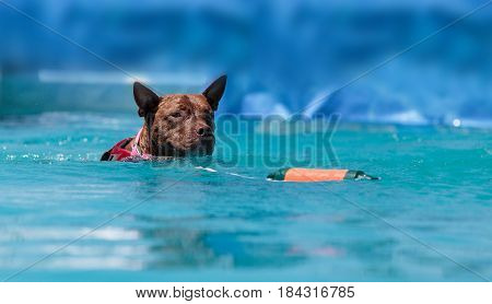 American Pit bull terrier dog plays and jumps for a toy into a pool