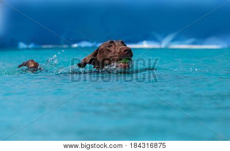 Chocolate Labrador Retriever Swims With A Toy