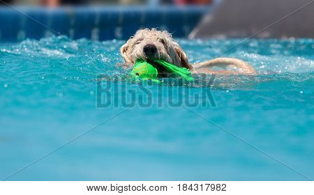 Yellow labradoodle retriever swims with a toy in a pool in summer.