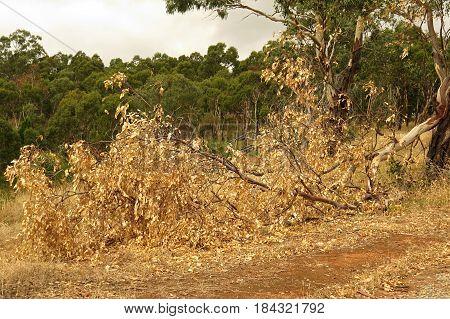 Eucalyptus gum leaves along an Australian bush walking trail track branch broken from trunk