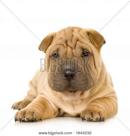 Sharpei in front of a white background poster