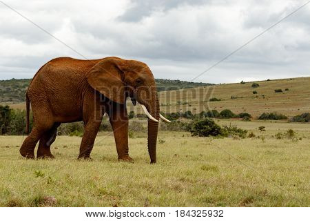 Big Elephant Walking In The Field